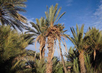Palme in Marocco