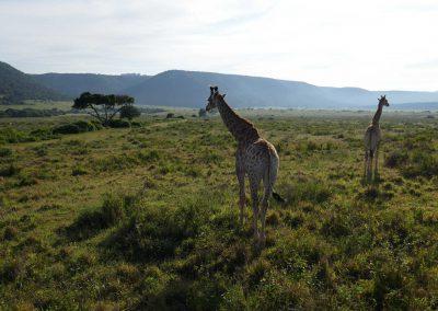 Giraffe a Kariega, Sudafrica